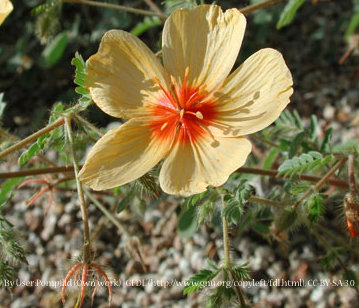 Arizona Poppy 00068
