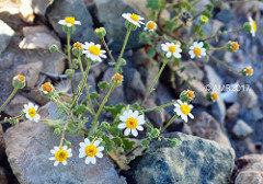 Emory's Rock Daisy 00079