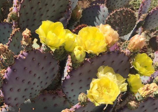 Purple Opuntia Cactus 00089