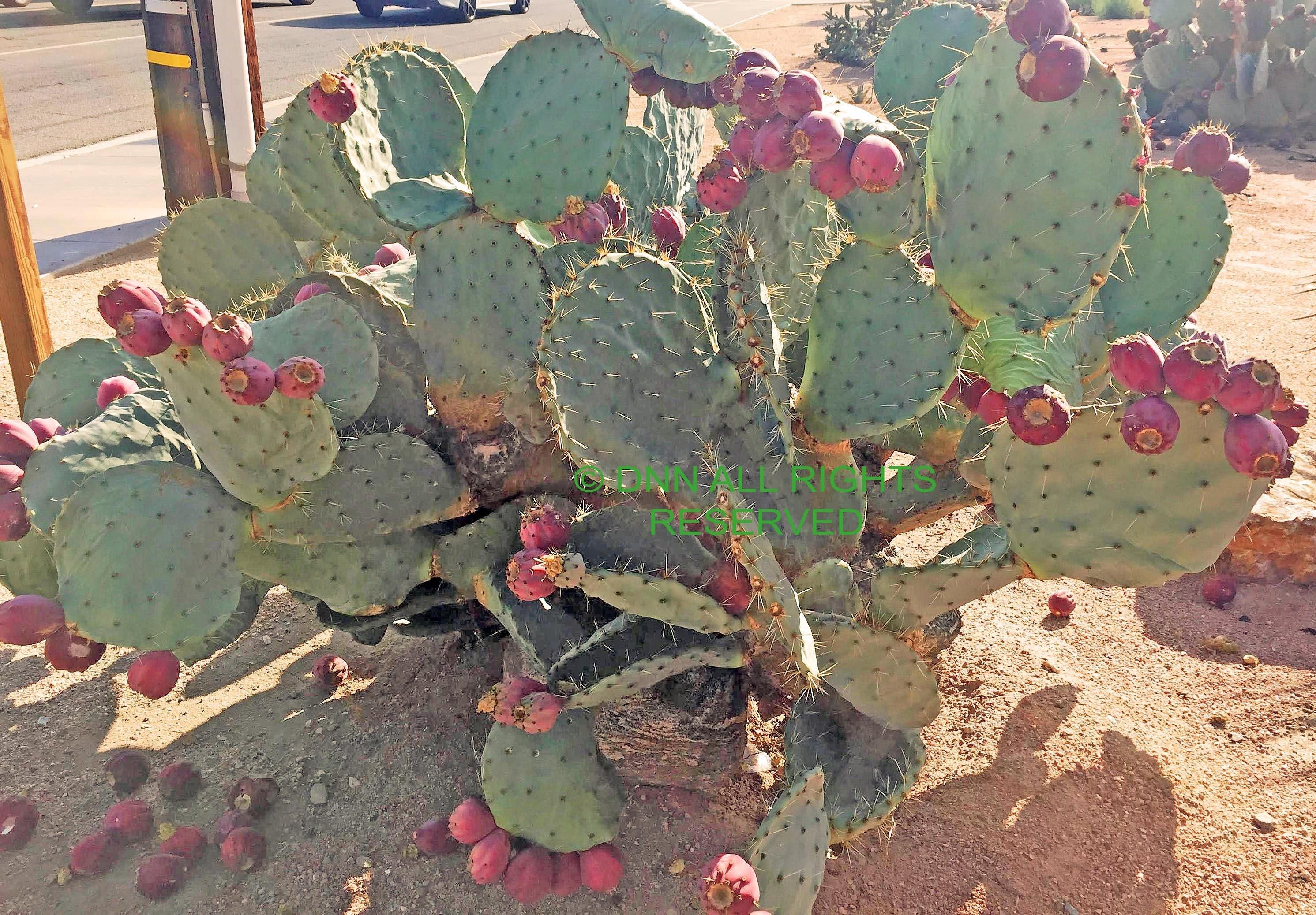 Dinner Plate Cactus -Seed