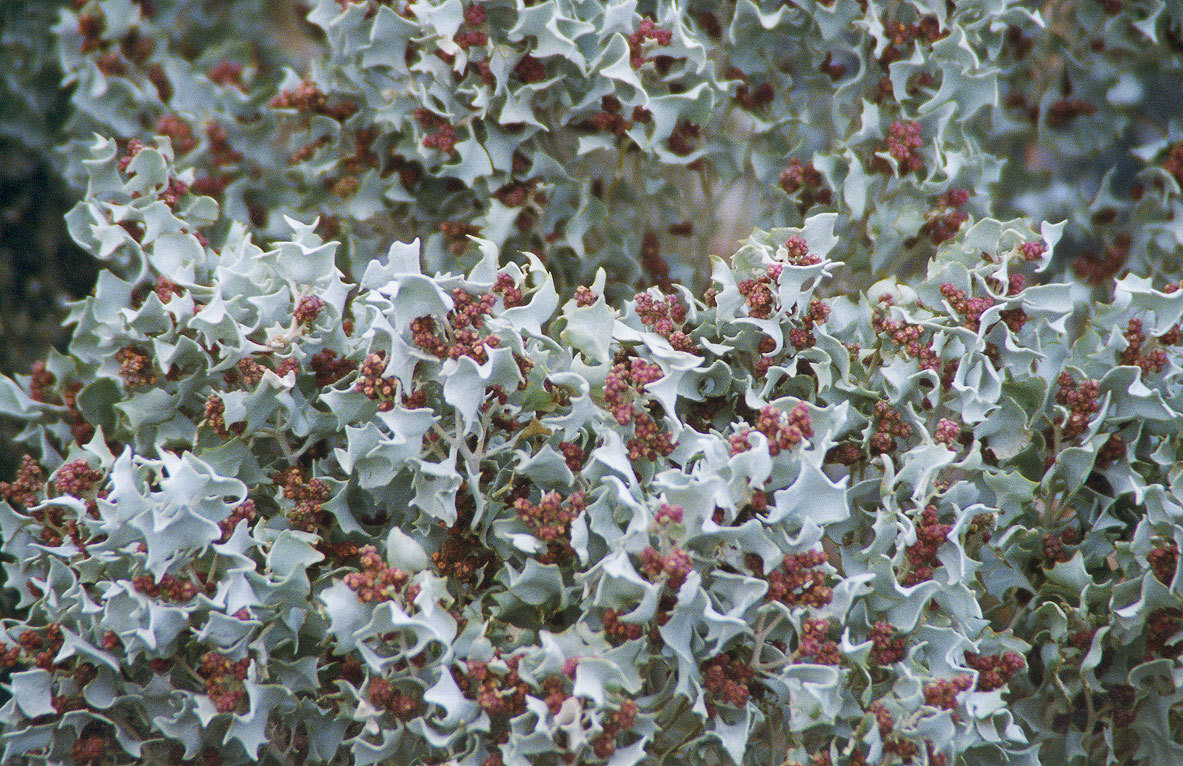 Desert Holly 00221