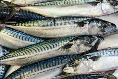 Mackerel Pack (Preserved)