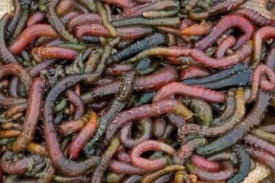 Pack Lugworm Blackwrap (10)