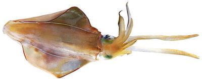 Squid 3pk