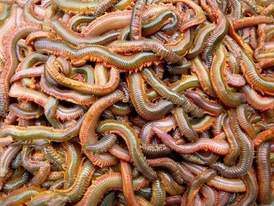 Rag Worm (per box)