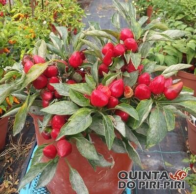 Cherry Bomb Red