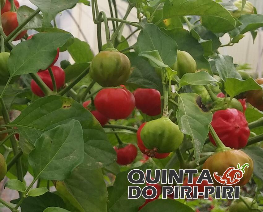 Pimenta Pitanga  (Brasil)