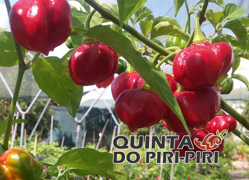Brazilian Red Ghost Pepper (Crazy Cross)