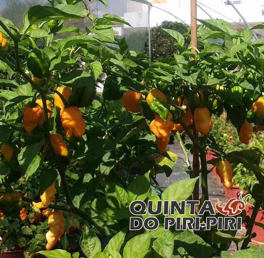 Bhut Assam Orange