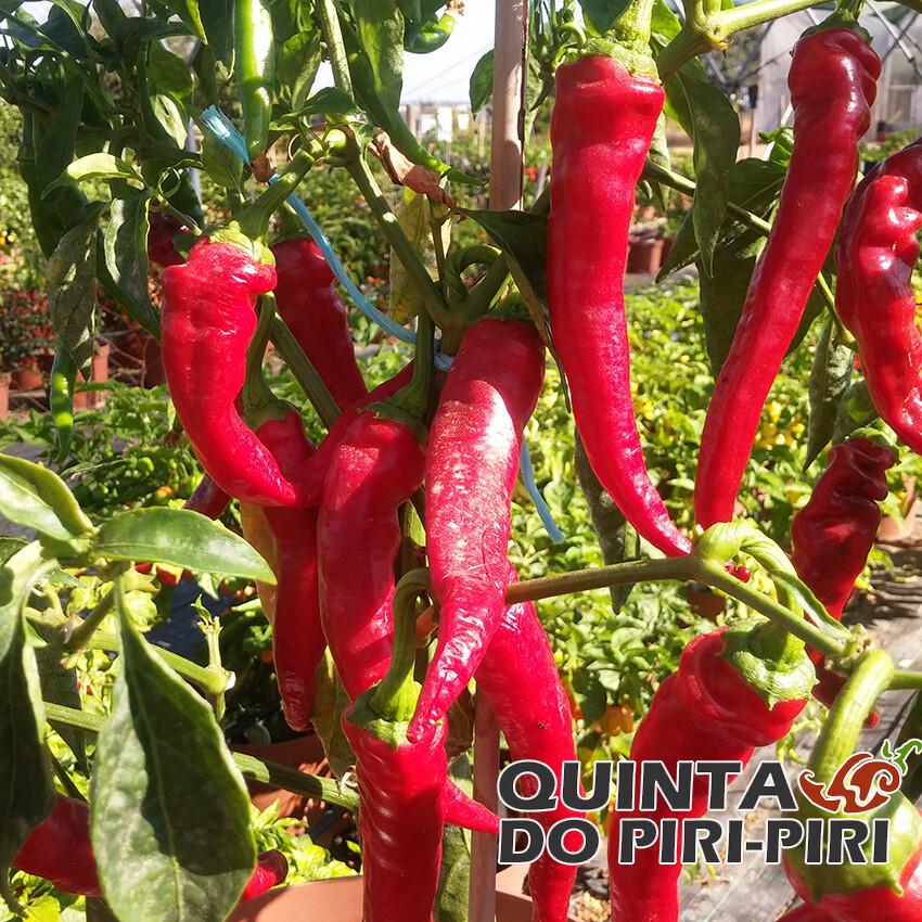 Boldog Hungarian Pepper