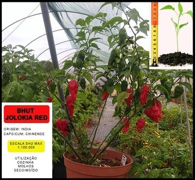 Planta Bhut Jolokia Red