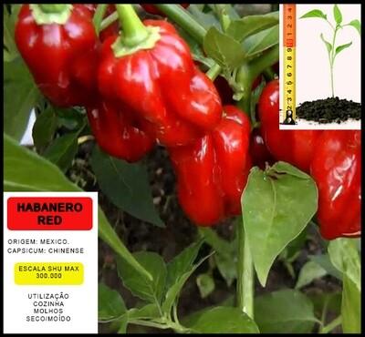 Planta Habanero Red