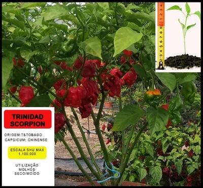 Planta Trinidad Scorpion Red