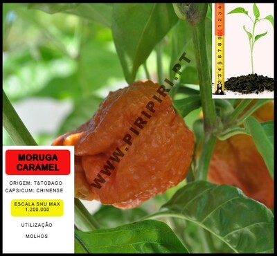 Planta Trinidad Moruga Caramel