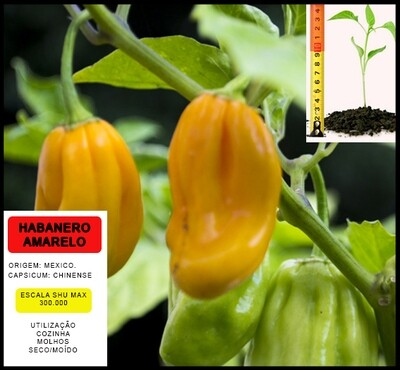 Planta Habanero Amarelo