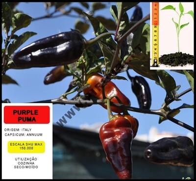 Planta Purple Puma