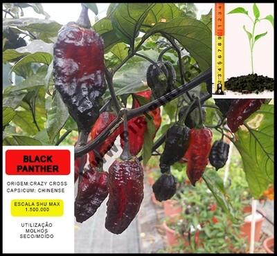 Planta Black Panther