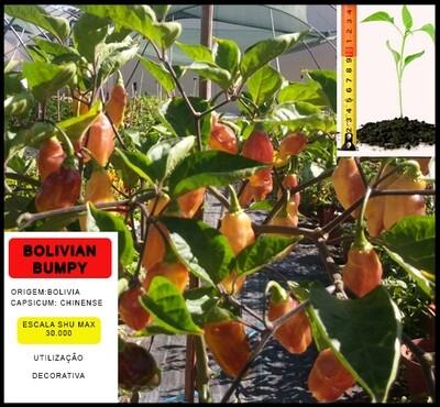 Planta Bolivian Bumpy