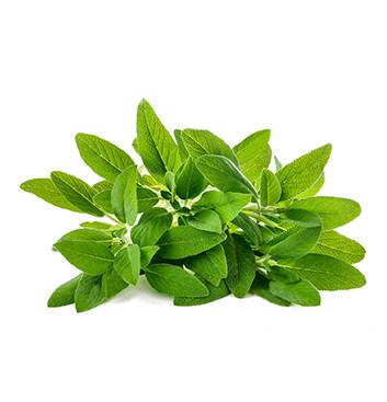 Salvia - Hidroponico - Fogliasana - 1oz