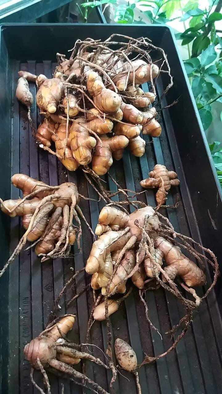 Plant Magic Workshop - Grow Turmeric at Home + Lunch