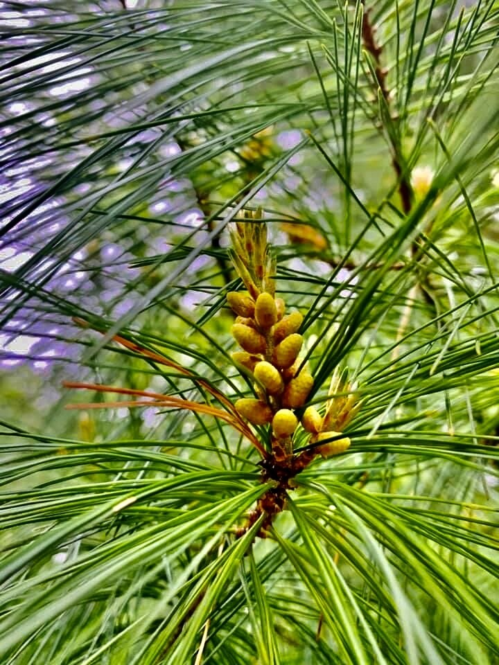 Working with White Pine