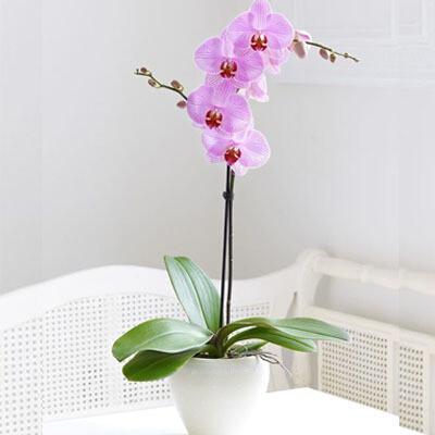 Orquídea Phalaenopsis Rosa   GRATITUD