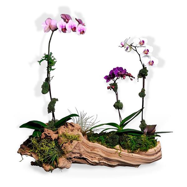 Orquideas Blanca, Rosa y Fucsia   EDEN