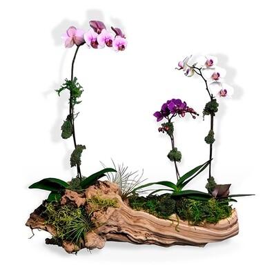 Orquideas Blanca, Rosa y Fucsia | EDEN