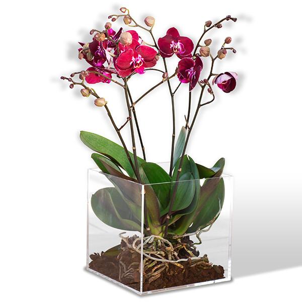Planta de Orquídea    CLARIDAD