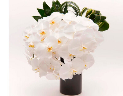 Orquídea Phalenopsis  |  PERUGIA