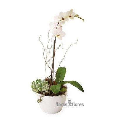 Planta de Orquídea Blanca- 90 MIN | DREAM