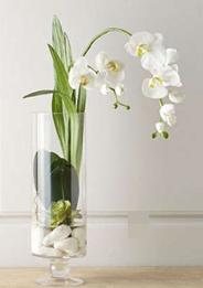 Orquídea Phalaenopsis    ALBA