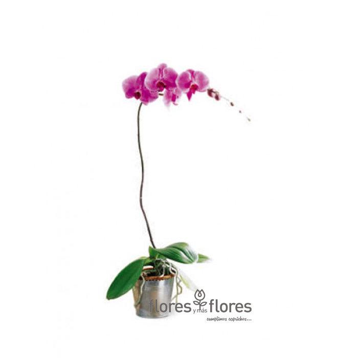 Orquídea Phalaenopsis    CHIC
