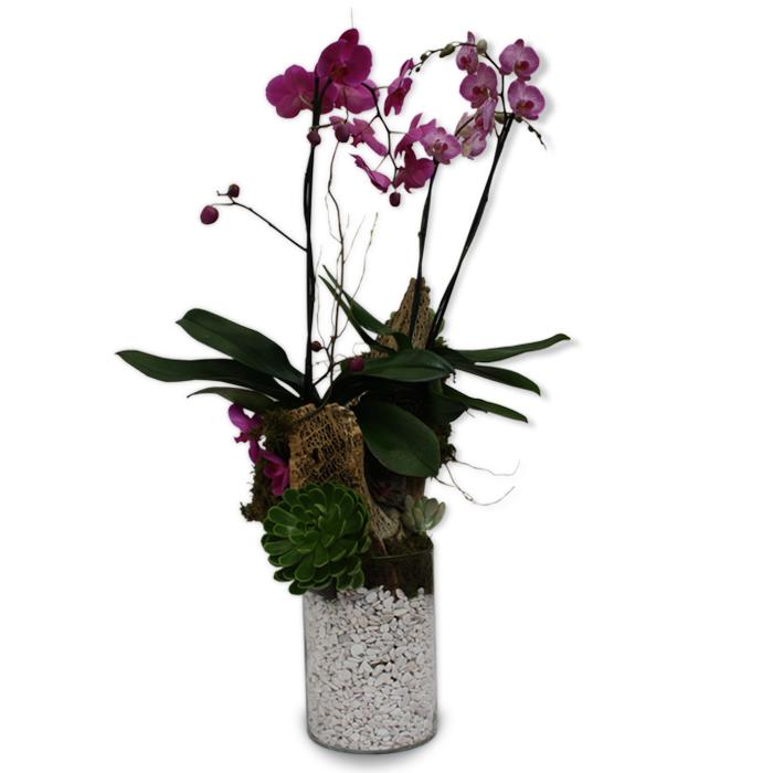 Orquídea Blanca Phalaenopsis   GRANDEZA