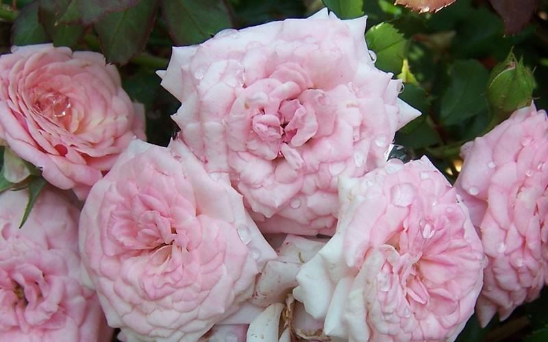 Sweet Drift Rose 2 gallon