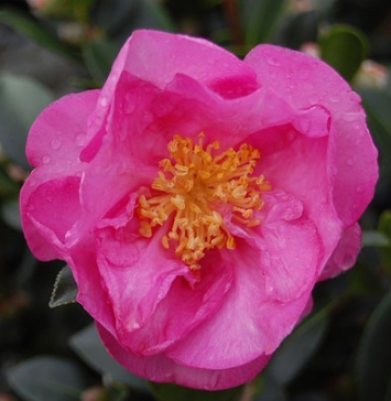 Stephanie Golden  Camellia
