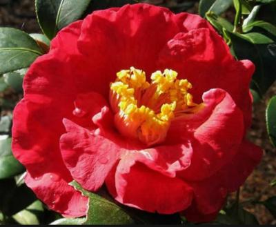 Don Mack  Camellia