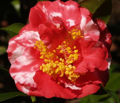 Laura Walker Camellia
