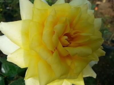 Oregold Rose 3 gallon