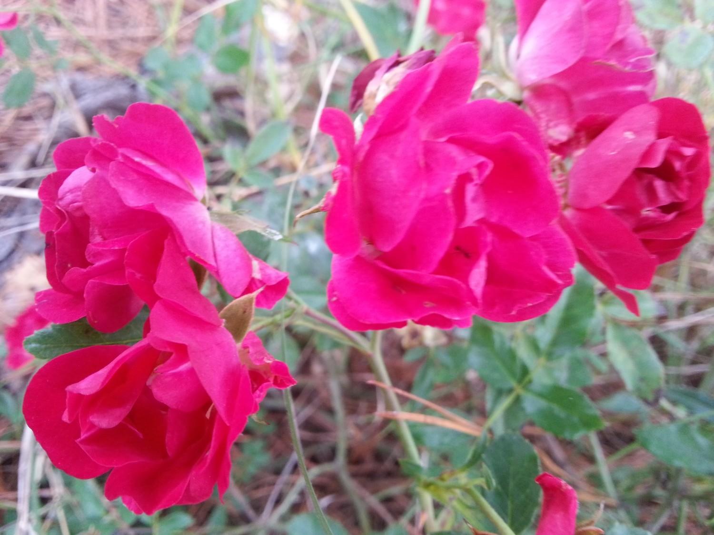 Red Drift Rose 2 gallon