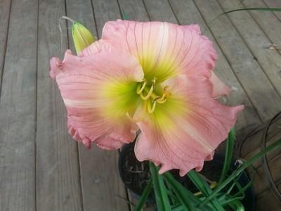 Pink Aloha 1 gallon