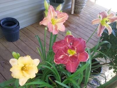 100 Mixed Hybrid Daylillies
