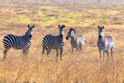 Four Zebras Canvas Print and Lindt Chocolate Truffles
