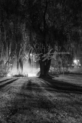 Midnight Willow