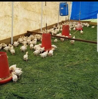 Chicken processing Class
