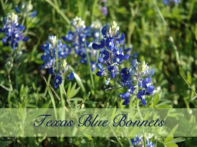 Texas Bluebonnets Bouquet