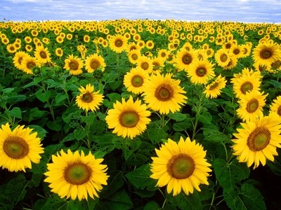 Sunflowers on the Prairie