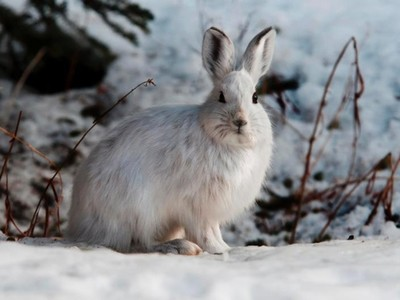 Snowshoe Hare Alert Small