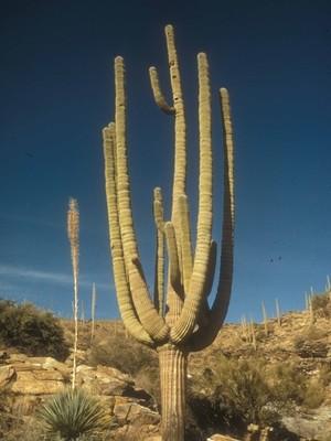 Scenic Saguaro