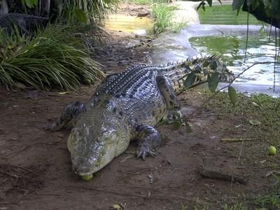 Large Crocodylus Porosus